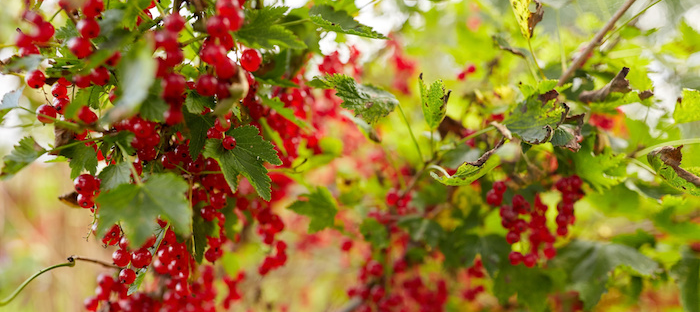 Grow berry bushes in the fall